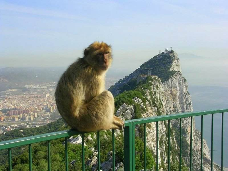 Un singe à Gibraltar